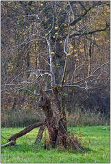 Ein alter Apfelbaum ...