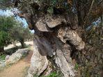 Ein alter Baum am Wegesrand. Wanderroute:Soller-Cala Tuent.(Mallorca)