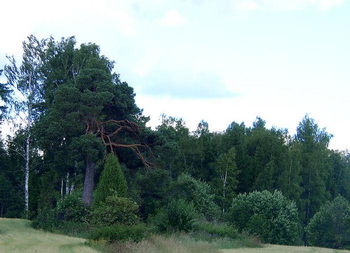 Ein alter Baum,