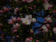 Ein anderer Apfelbaum im Sonnenaufgang