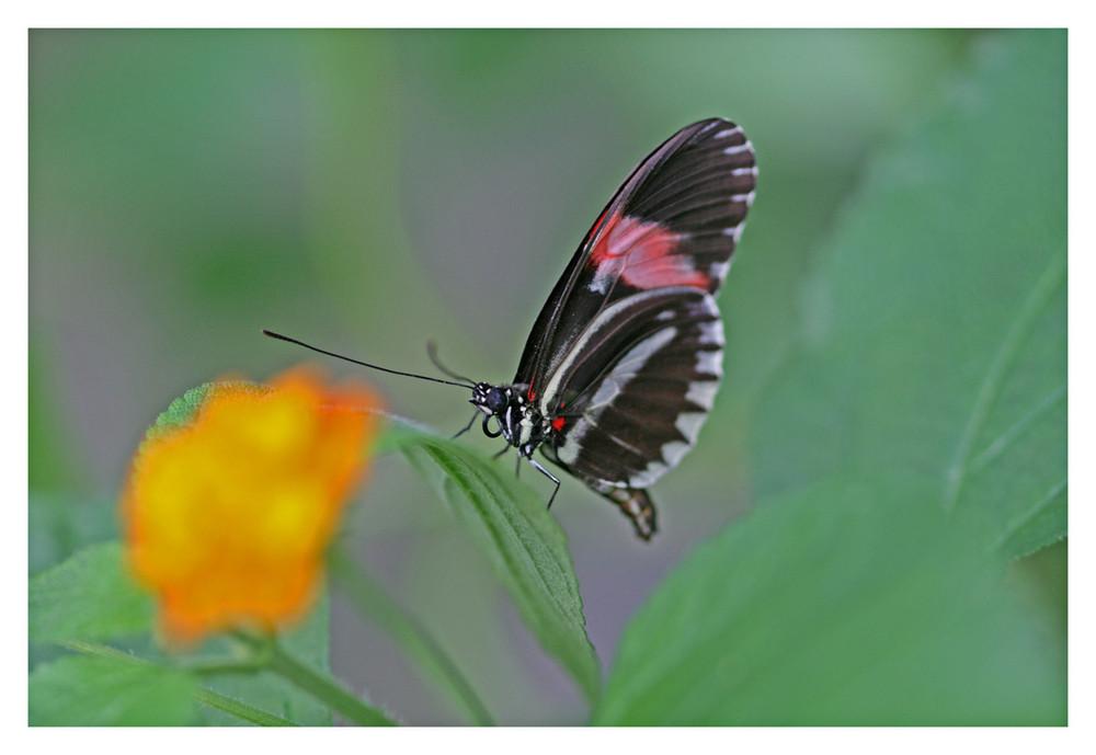 ein anderer Schmetterling im Kölner Zoo (Insektarium)