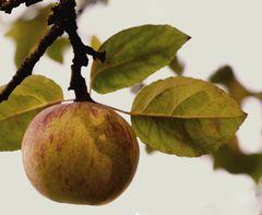 Ein Apfel am Tag ... und Ihr Doktor bleibt arbeitslos