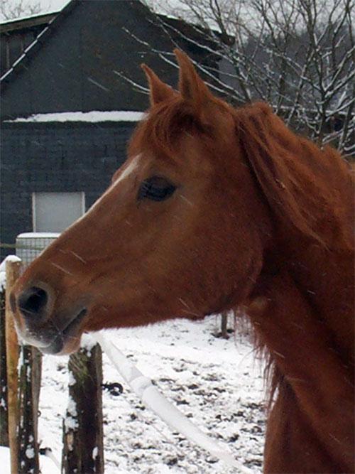 Ein Arabär im Winter