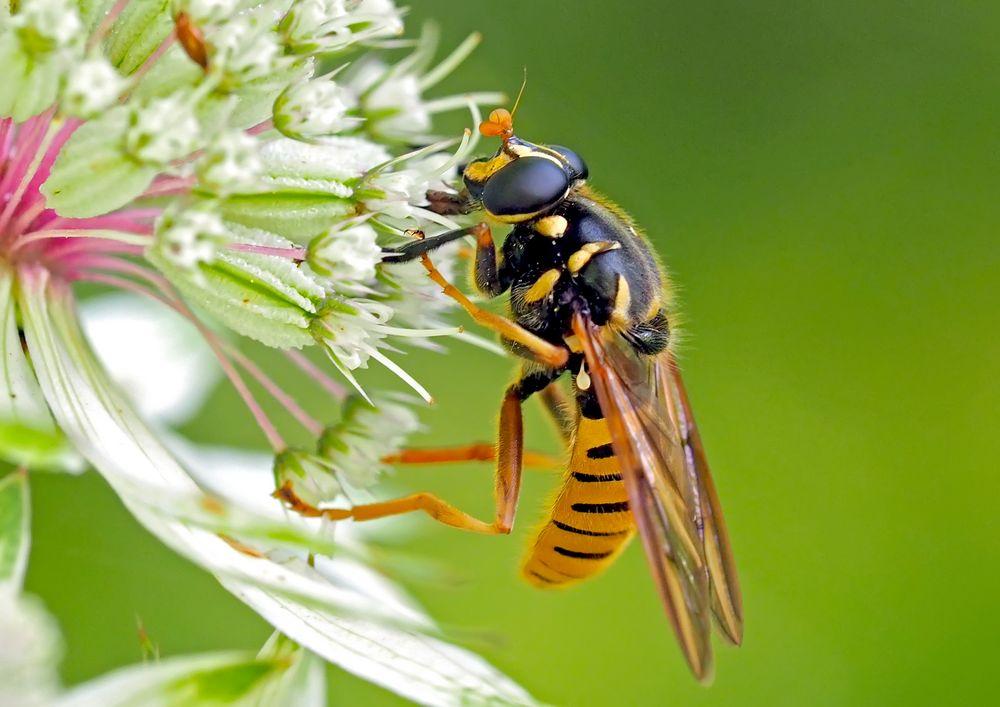 Ein attraktiver Blütenbesucher: die Wespen-Moderholzschwebfliege (Temnostoma vespiforme) *