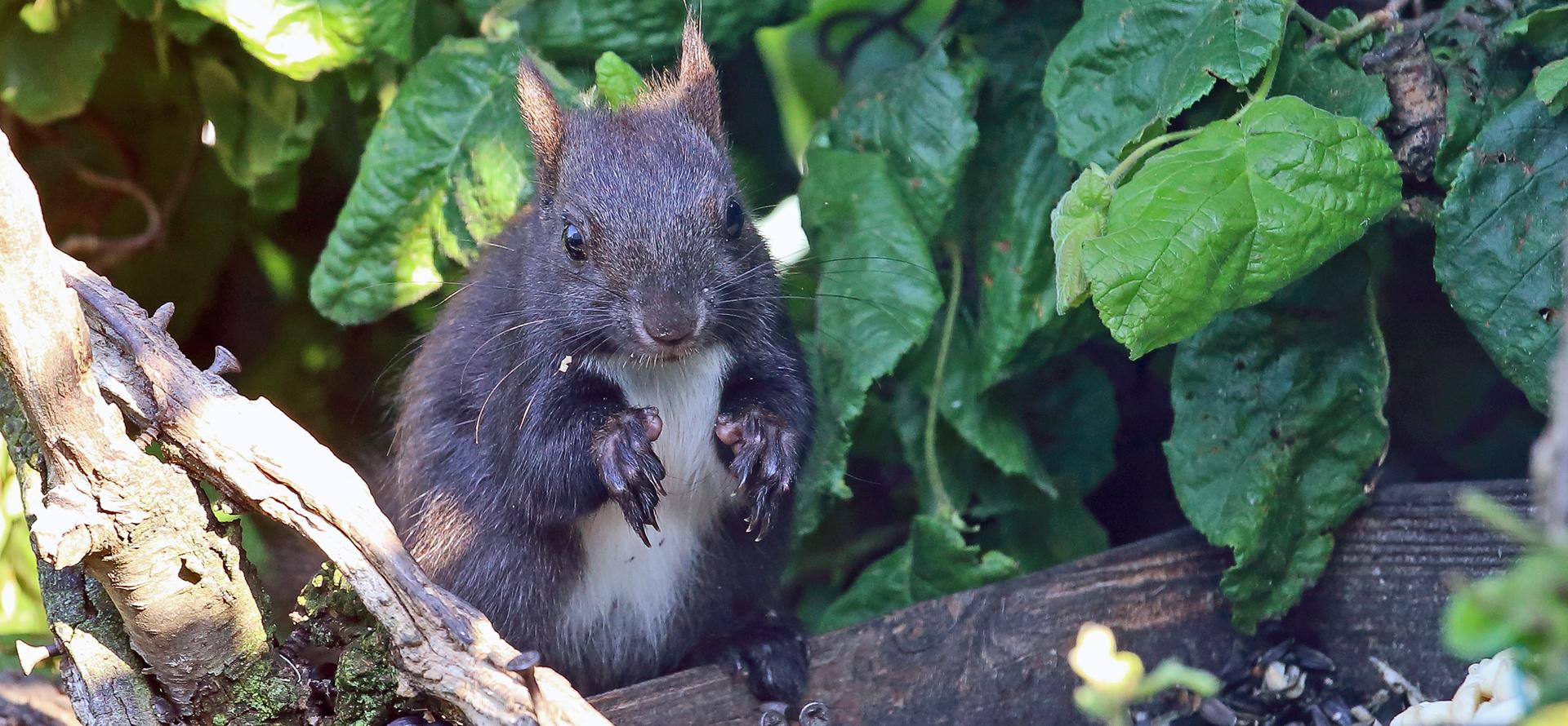 Ein aufmerksamer Blick an der Futterstelle und das Eichhörnchen...