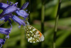 ein Aurorafalter (Anthocharis cardamines) (Männchen) ...