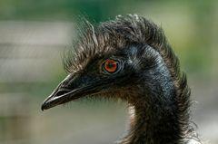 Ein ausgeprägter Charakterkopf - Emu im Tierpark Hamm