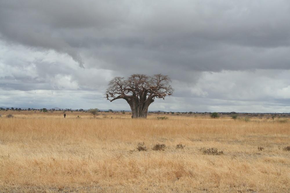 Ein Baobab in der Serengeti....