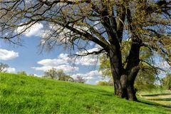 Ein Baum am Deich...