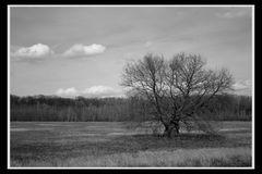 Ein Baum auf dem Kühkopf (1)