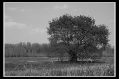 Ein Baum auf dem Kühkopf (2)