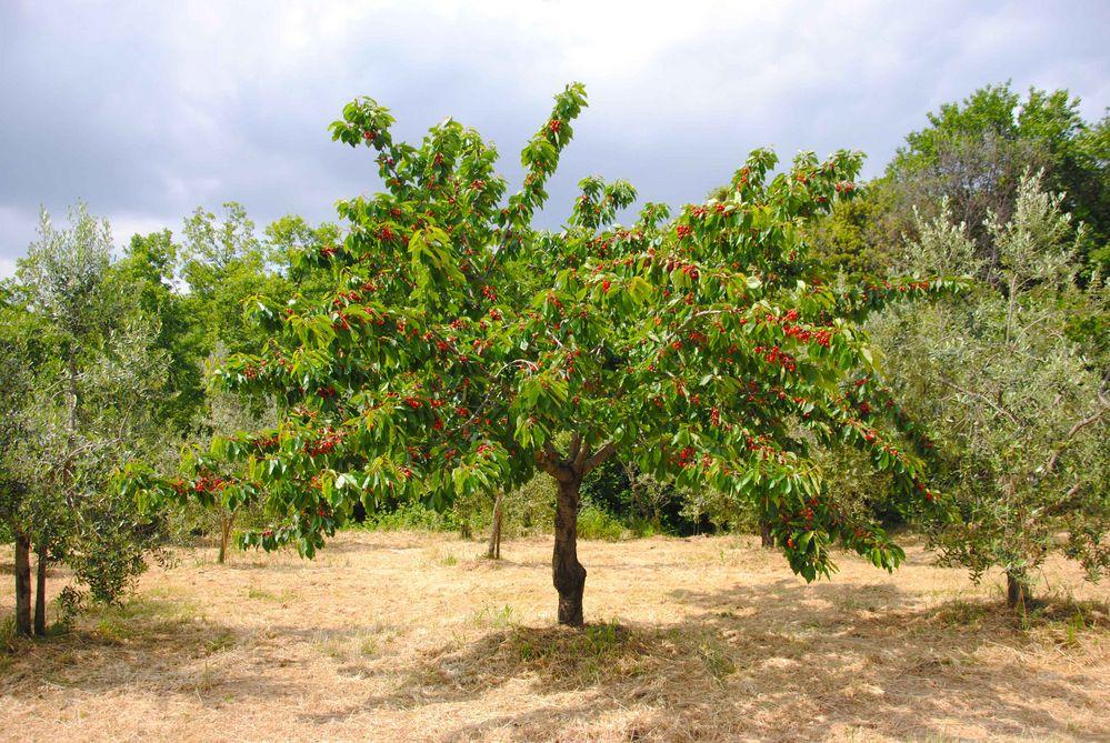 Bäume Mit Früchten