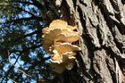 Ein Baum - Ein Pilz