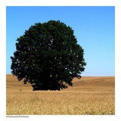 Ein Baum im Kornfeld I