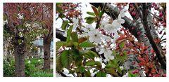 Ein Baum, zwei Blüten