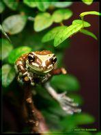 Ein Baumhöhlen Krötenlaubfrosch . . .