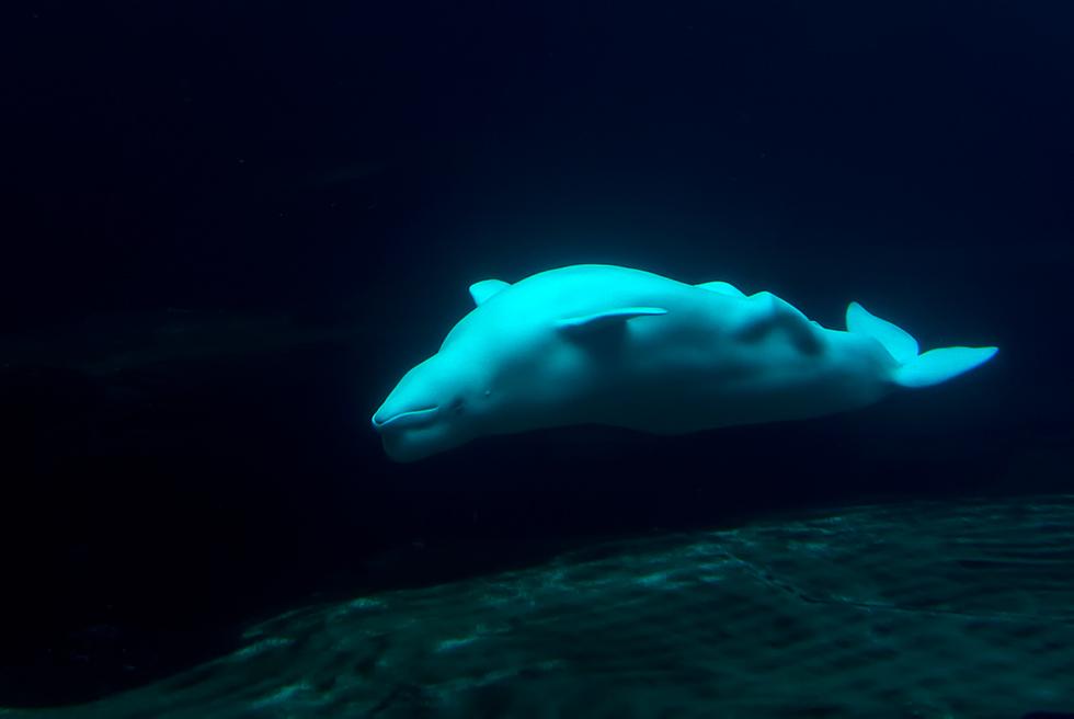 ein beluga im zoo