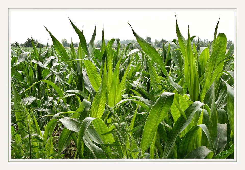 ein Bett im Maisfeld.......
