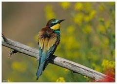 ---- Ein Bienenfresser ---- ( Merops apiaster )