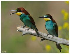 ---- Ein Bienenfresser Paar ----- ( Merops apiaster )