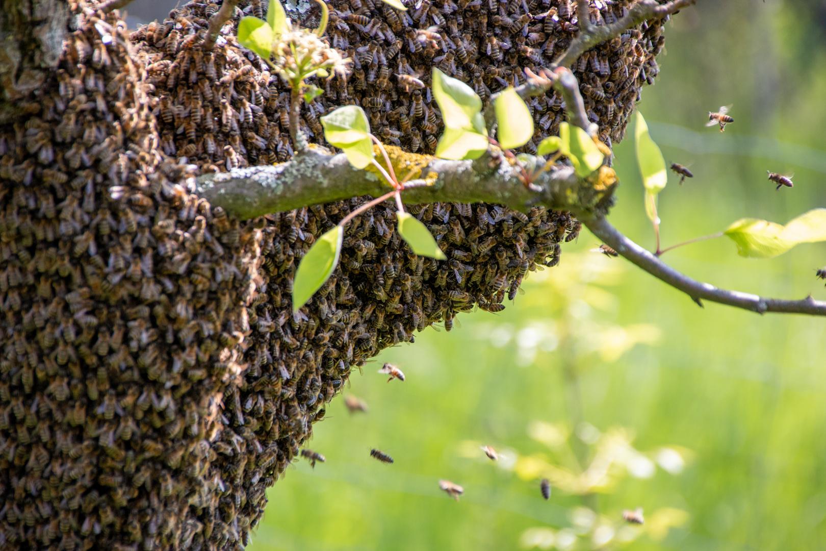 - Ein Bienenschwarm im Mai -