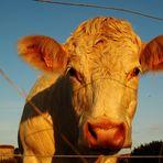 ... ein Bild von einer Kuh