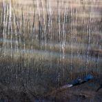 ein Birkenwald an der Jagst