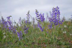 ein blauer Blütenteppich...