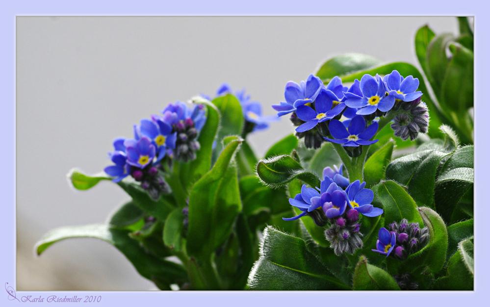 ... ein blaues Blümelein ....