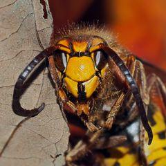 Ein-Blick hinter die Kulissen! Hornisse (Vespa crabro)