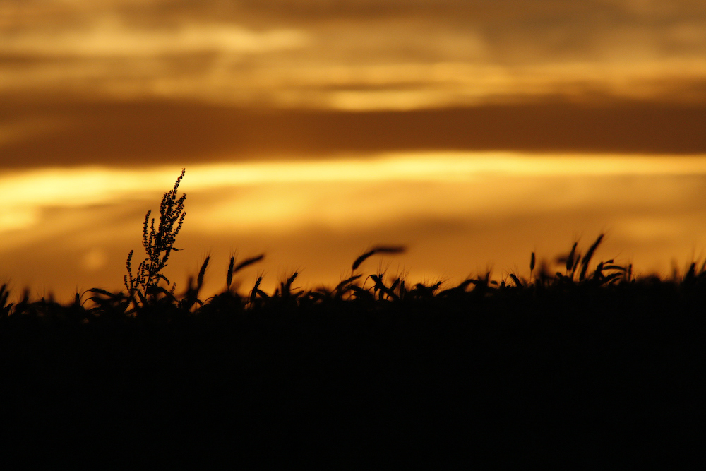 Ein Blick über's Kornfeld bei Sonnenuntergang