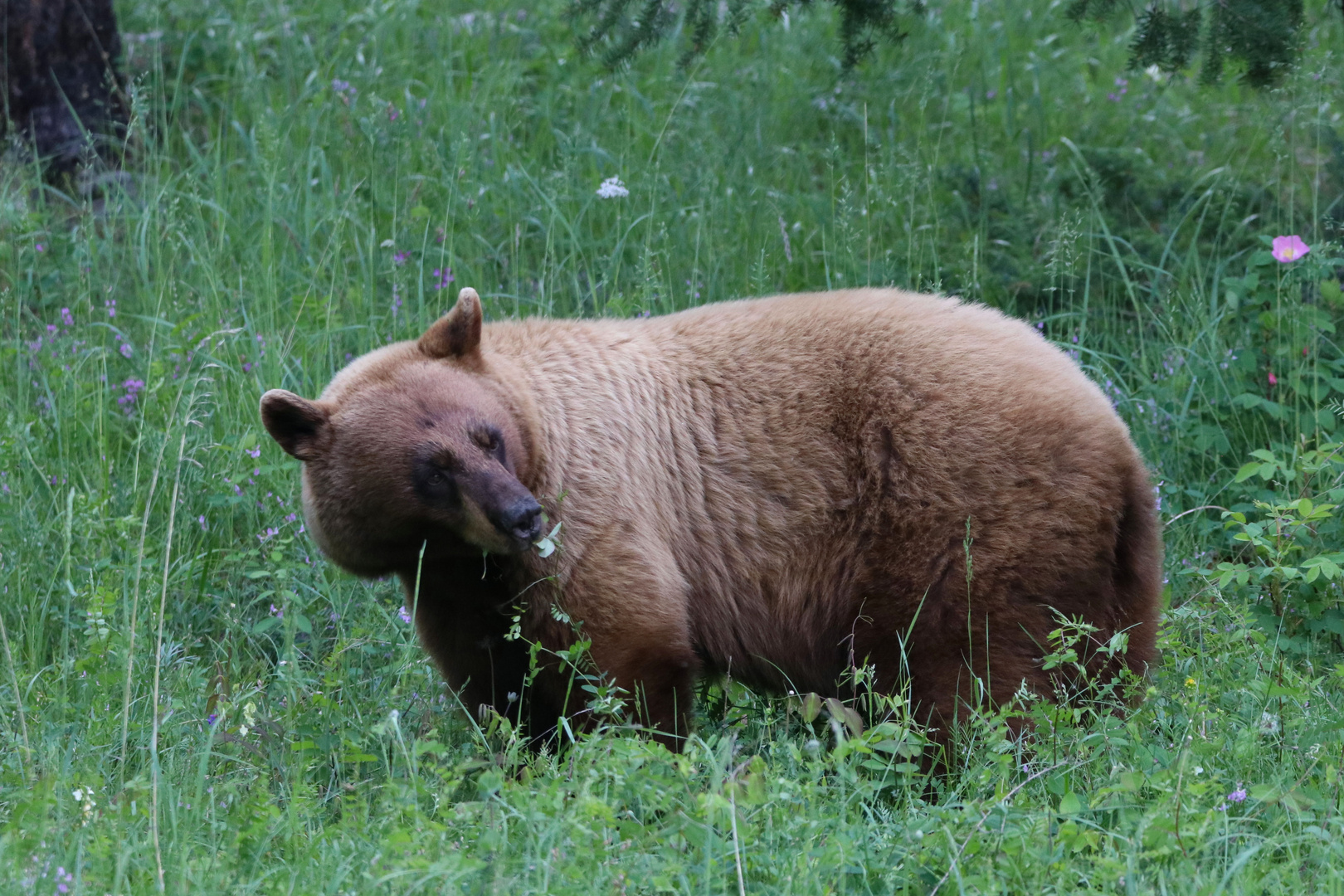 ein blonder Bär