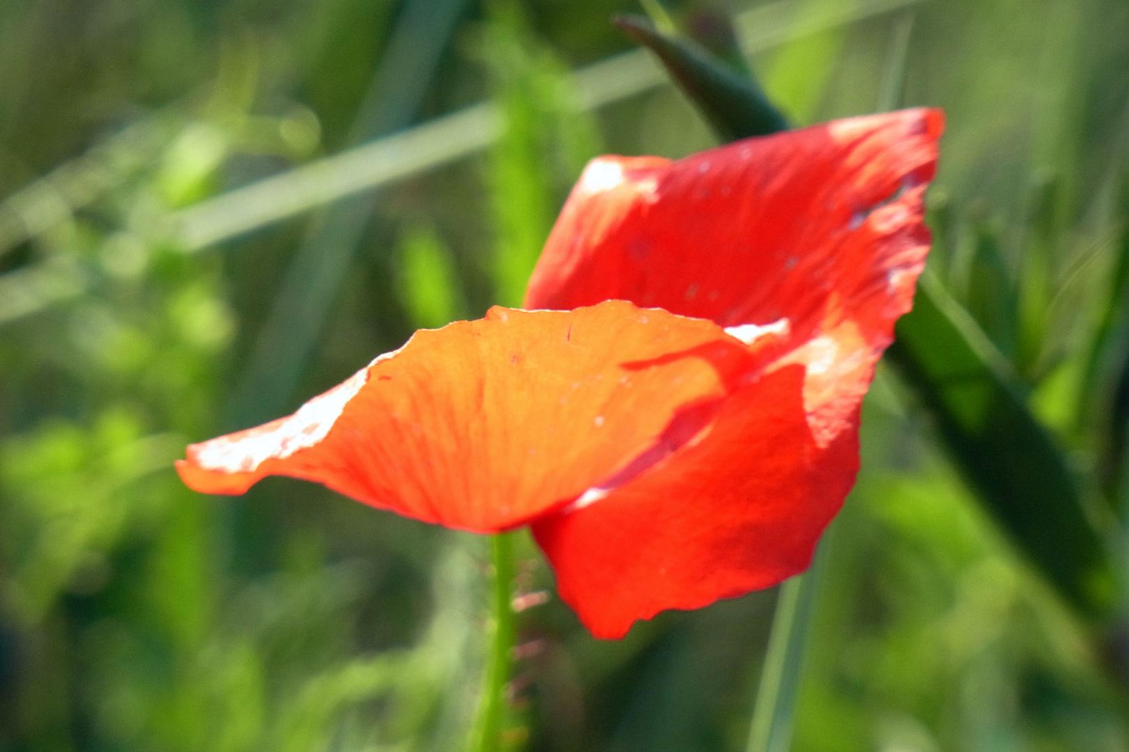 Ein Blütenblatt fällt