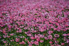 ein Blütenmeer