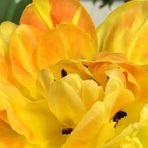 ein Blütentraum in Gelb