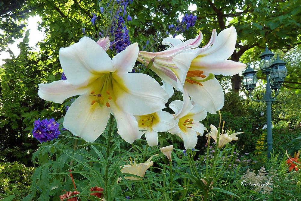 Ein Blumengruß zum Wochende sende ich mit diesen weißen Lilien
