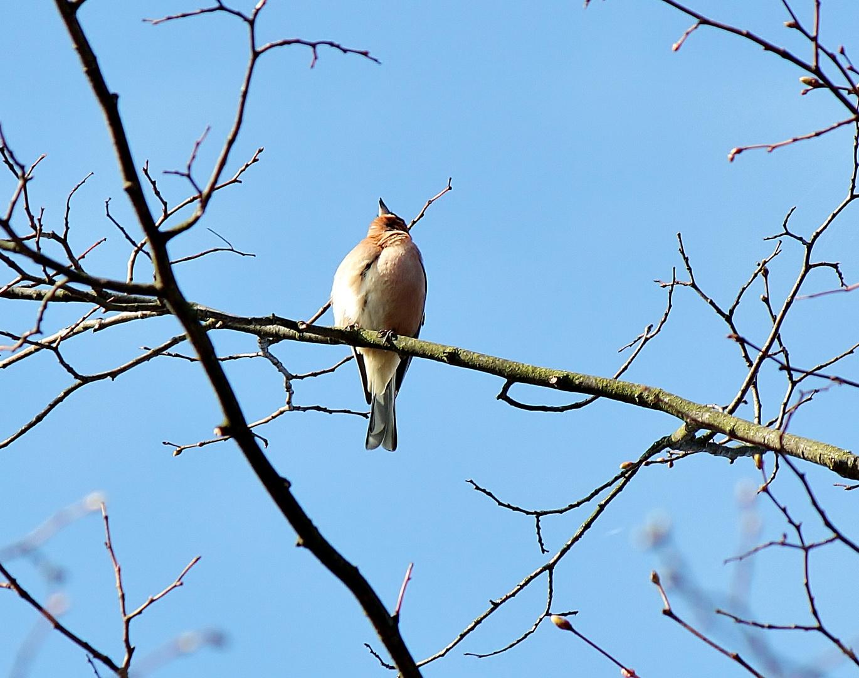 ein Buchfink schmettert sein Morgenlied