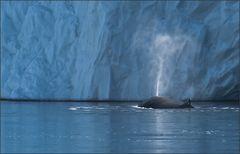 ein buckelwal vor einem eisberg