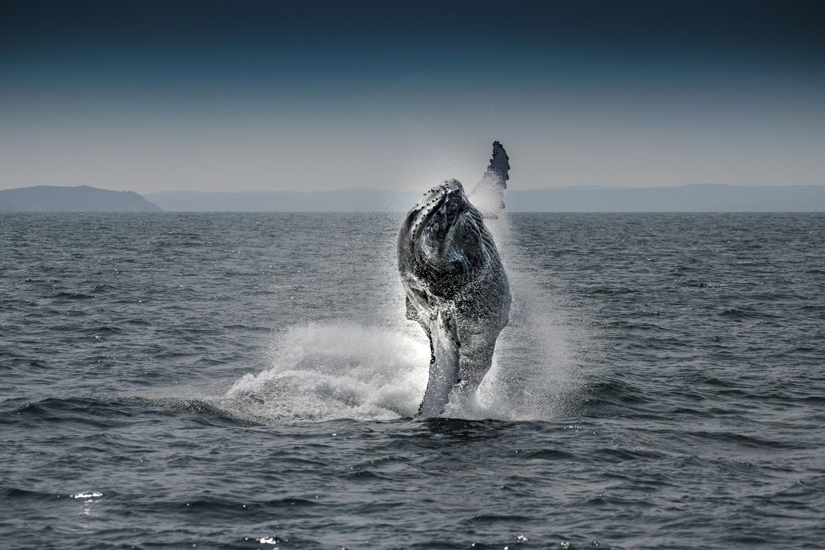 Ein Buckelwal winkt uns zu...