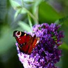 Ein Butterflieger