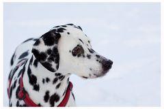 Ein Dalmatiner im Schnee