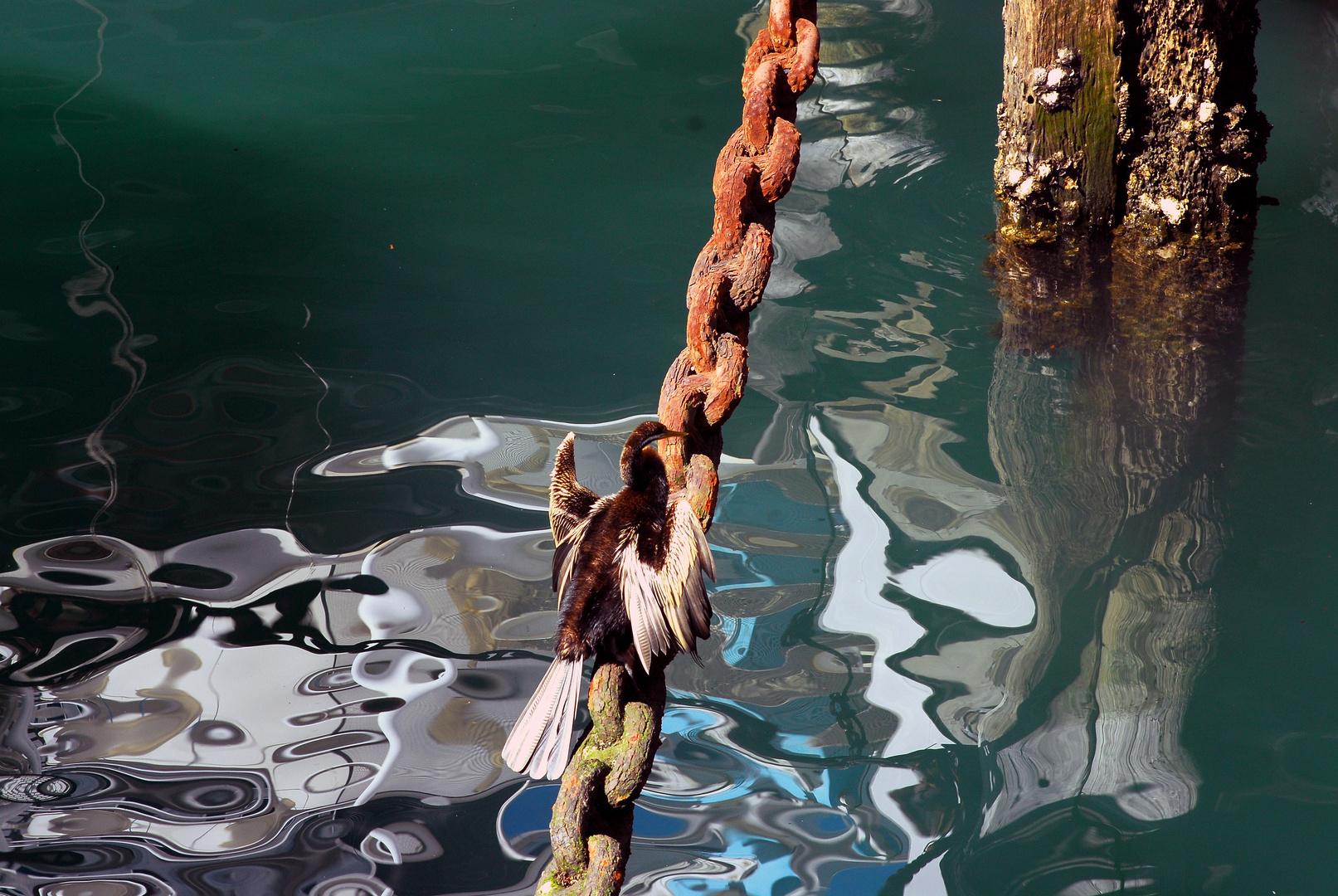 Ein Darter auf Lauer Sidney Hafen