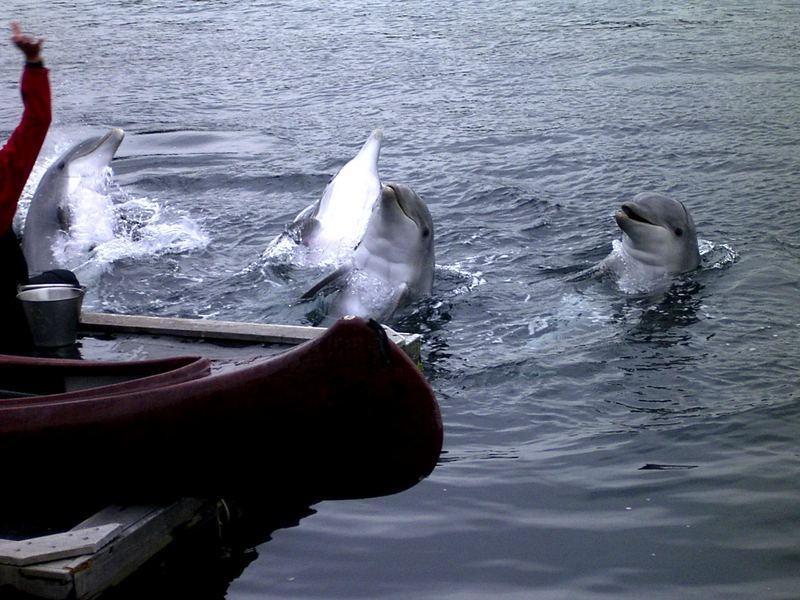 Ein Delfin Rudel