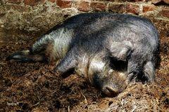Ein dickes Schwein auf dem Kinderbauernhof in Neuss