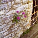 Ein echtes Mauerblümchen