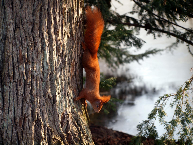 Ein Eichhörnchen ist unterwegs