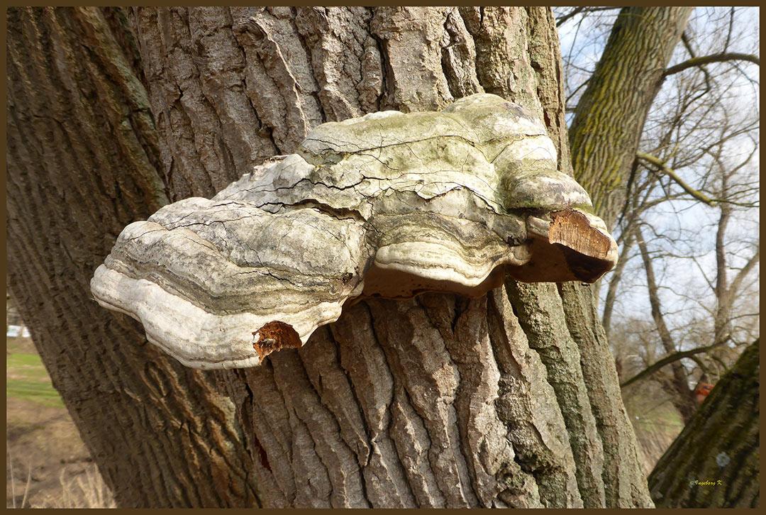 Ein eindrucksvoller Baumpilz - schon verholzt