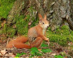 Ein einheimisches rotbraunes Eichhörnchen
