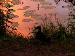Ein einsames Entchen im Abendlicht am Pfefferteich in Salzwedel