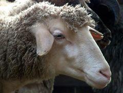 ein einzelnes Schaf